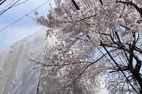 2014年4月2日の桜_e0174913_13095281.jpg