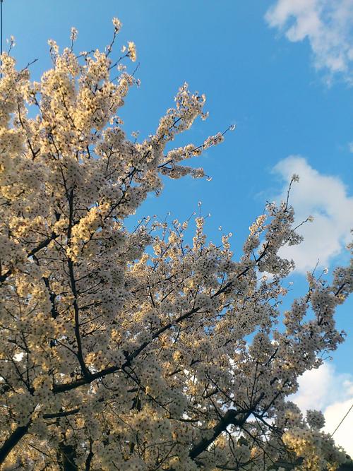 今日の桜☆A primavera chegou! A flor da cerejeira, Sakura é a flor símbolo do Japão._b0032617_1831139.jpg