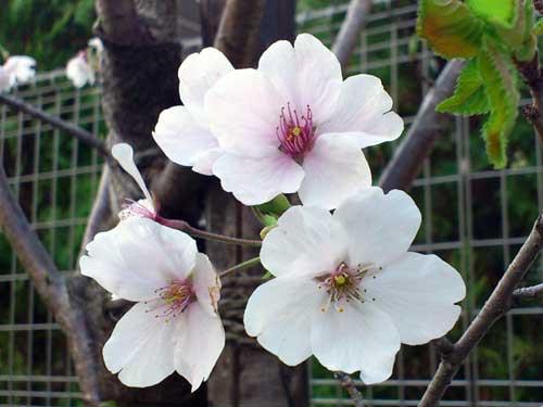 今日の桜☆A primavera chegou! A flor da cerejeira, Sakura é a flor símbolo do Japão._b0032617_1835019.jpg