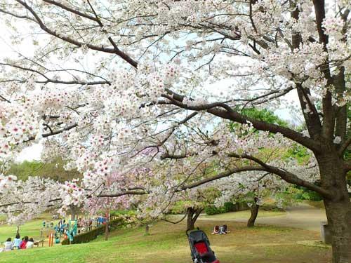 今日の桜☆A primavera chegou! A flor da cerejeira, Sakura é a flor símbolo do Japão._b0032617_1841068.jpg