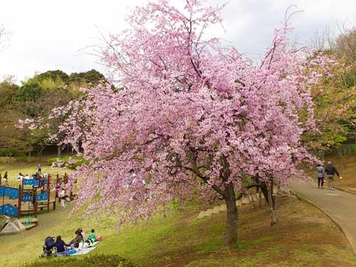 今日の桜☆A primavera chegou! A flor da cerejeira, Sakura é a flor símbolo do Japão._b0032617_1842521.jpg