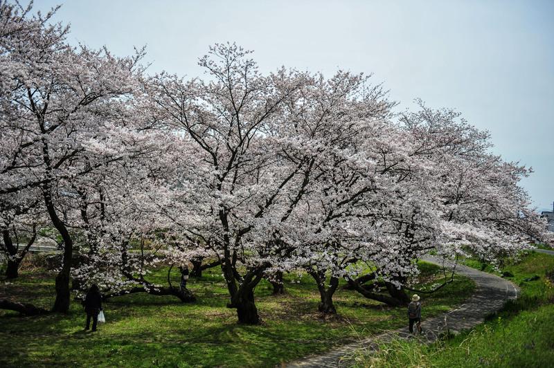 香川の今年の桜 ⑥ 香東川の河川敷の桜 2014 0331_d0246136_2249126.jpg