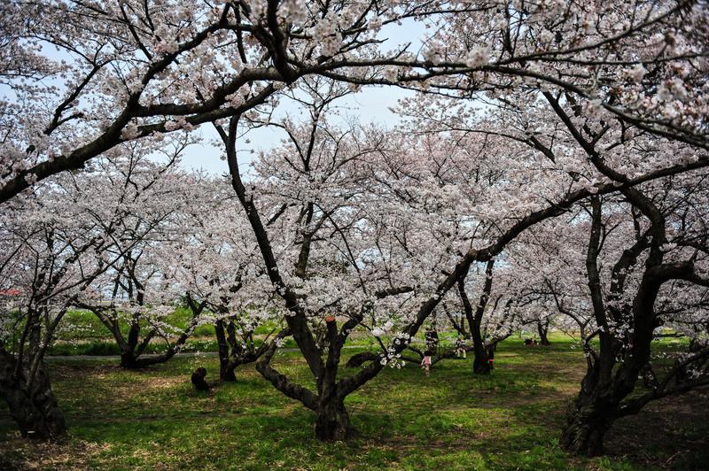 香川の今年の桜 ⑥ 香東川の河川敷の桜 2014 0331_d0246136_22491645.jpg