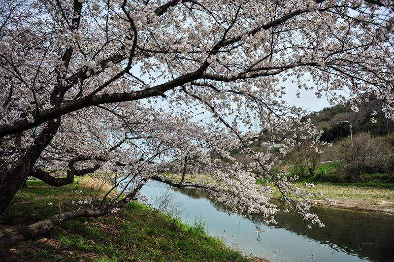 香川の今年の桜 ⑥ 香東川の河川敷の桜 2014 0331_d0246136_22493422.jpg