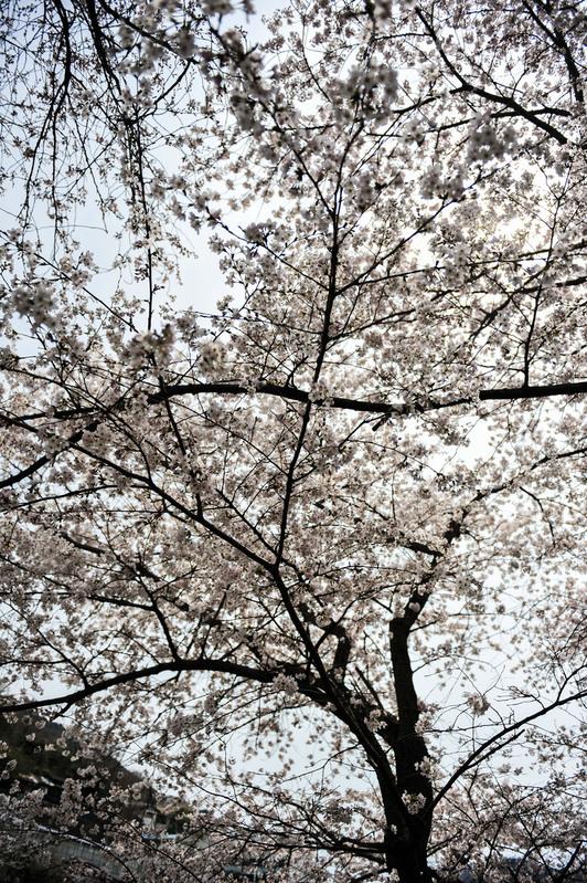 香川の今年の桜 ⑥ 香東川の河川敷の桜 2014 0331_d0246136_22495028.jpg