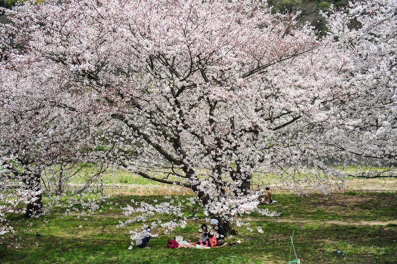 香川の今年の桜 ⑥ 香東川の河川敷の桜 2014 0331_d0246136_2250846.jpg