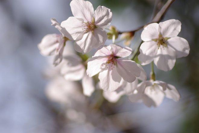 ベランダ越しの花見_e0171336_2315083.jpg