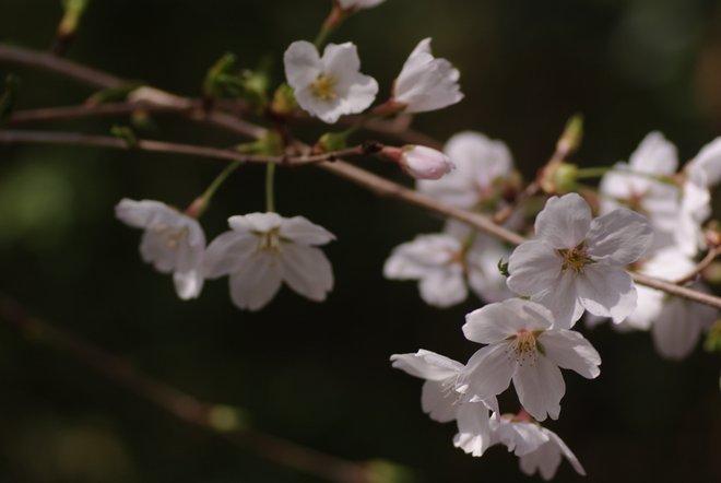 ベランダ越しの花見_e0171336_2323218.jpg
