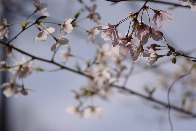 ベランダ越しの花見_e0171336_2325620.jpg