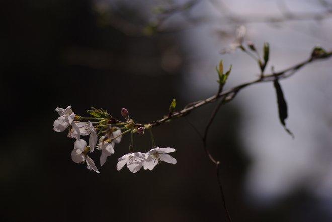 ベランダ越しの花見_e0171336_233143.jpg