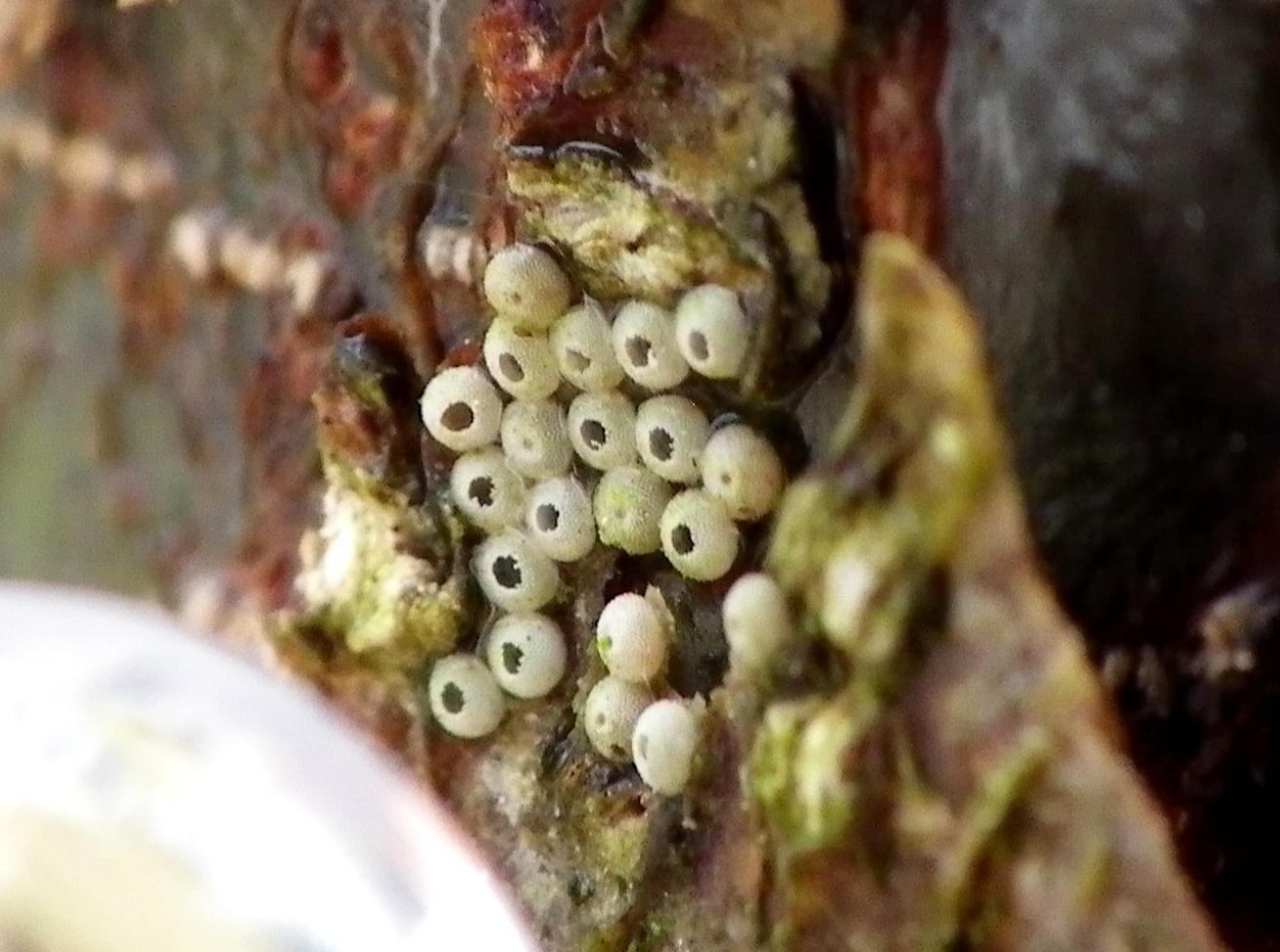 ミドリシジミ 卵孵る! _d0254540_1958564.jpg