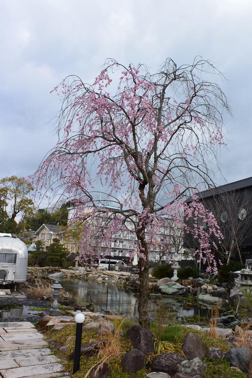 琵琶湖平安樓の桜_a0154045_13354544.jpg