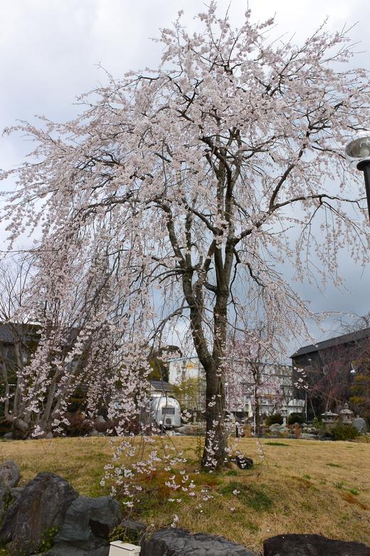 琵琶湖平安樓の桜_a0154045_13371199.jpg