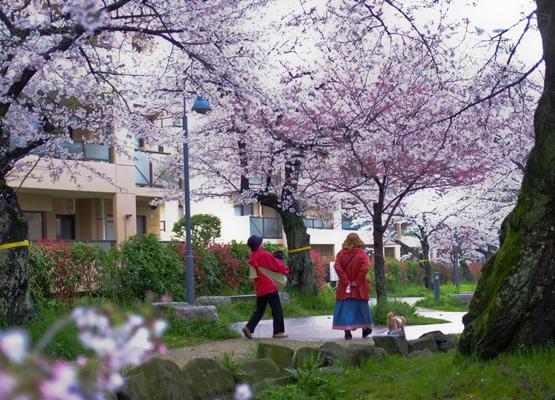 雨上がりの桜…_c0165046_20121094.jpg