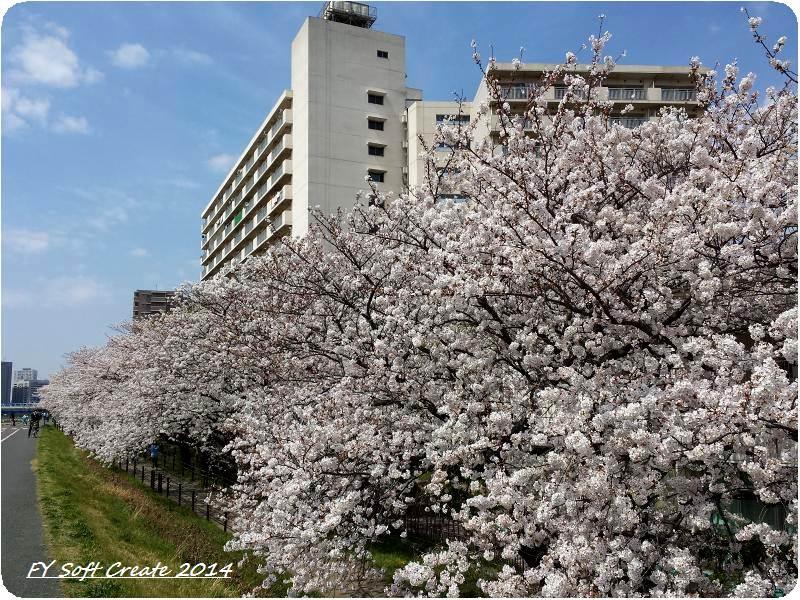 ◆ 桜咲く多摩川土手へ (2014年4月)_d0316868_923842.jpg