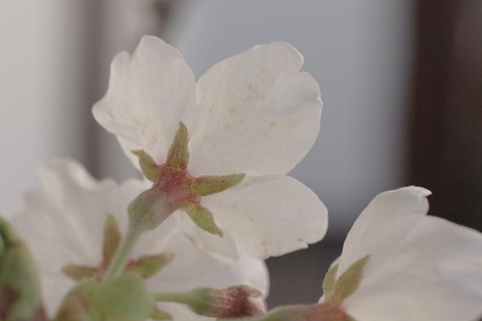 ベランダでお花見_e0292469_16505365.jpg