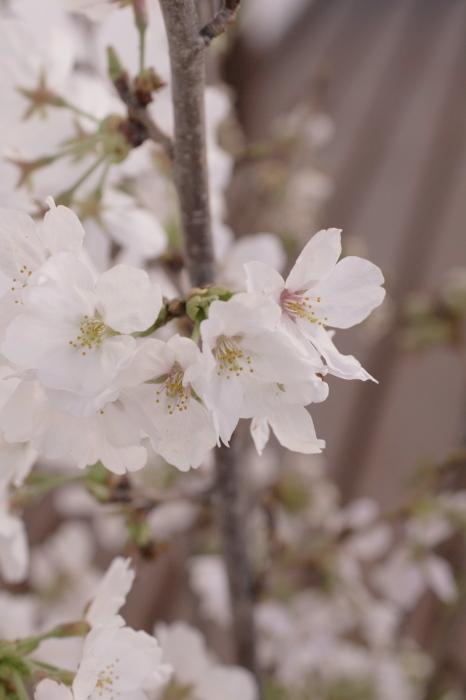 ベランダでお花見_e0292469_1651345.jpg