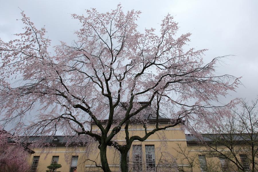 桜 2014 京都<京都府庁>                   _f0021869_22213899.jpg