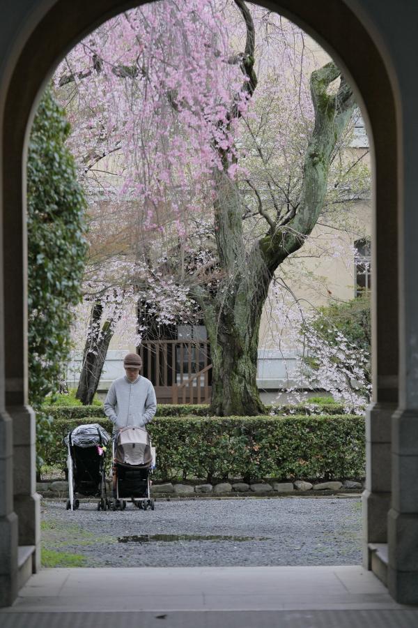 桜 2014 京都<京都府庁>                   _f0021869_22223827.jpg