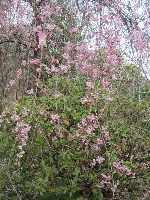 そめい吉野は咲き始め_f0085369_1025053.jpg