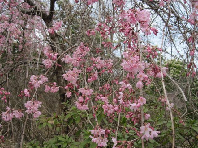 そめい吉野は咲き始め_f0085369_103561.jpg