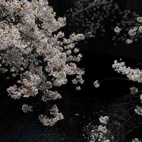 今年の桜が散っていきます・・・_f0083294_19192445.jpg