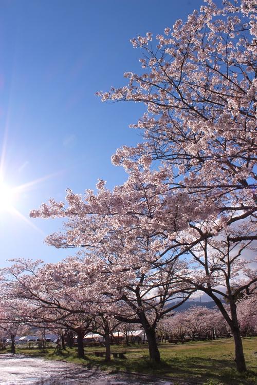 さくらさくら桜淵、どこ見ても桜!_b0220318_3592038.jpg