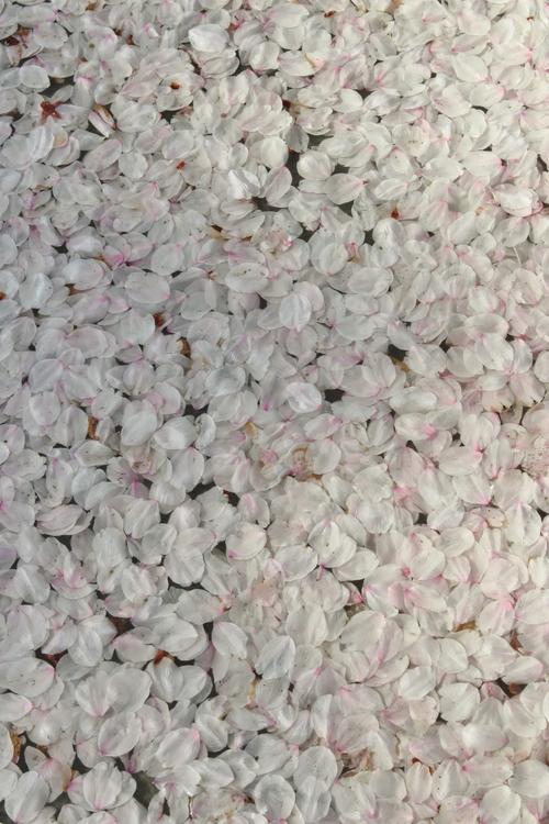 さくらさくら桜淵、どこ見ても桜!_b0220318_401946.jpg