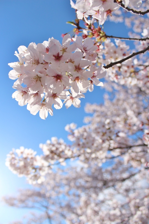 さくらさくら桜淵、どこ見ても桜!_b0220318_405431.jpg