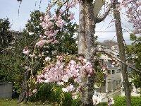 茶臼山公園でお花見会_c0133422_2334942.jpg
