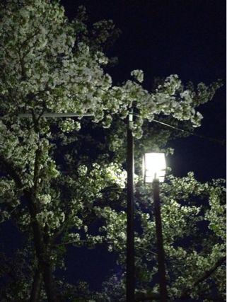 夜桜ランニング♪ ②_b0203925_21342689.jpg