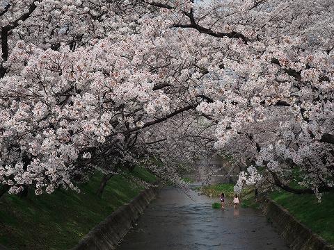 ミラーレスカメラで桜撮影_c0077531_1642650.jpg