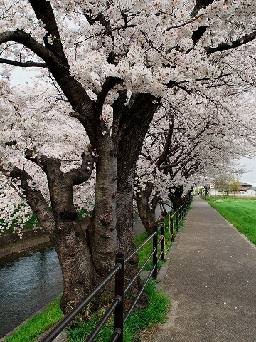 ミラーレスカメラで桜撮影_c0077531_1661566.jpg