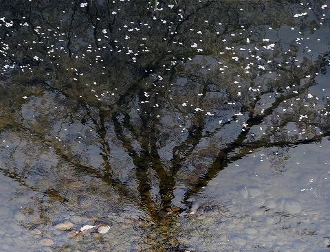 ミラーレスカメラで桜撮影_c0077531_1681494.jpg