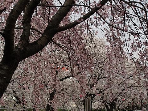 ミラーレスカメラで桜撮影_c0077531_1694075.jpg