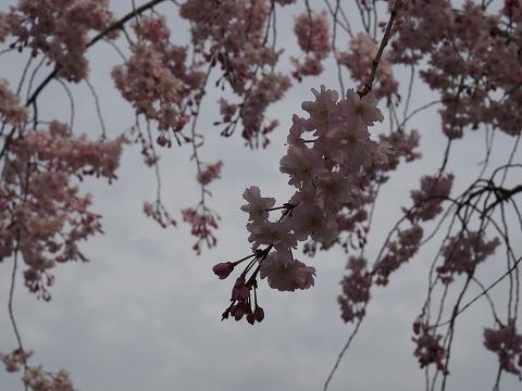 ミラーレスカメラで桜撮影_c0077531_169546.jpg