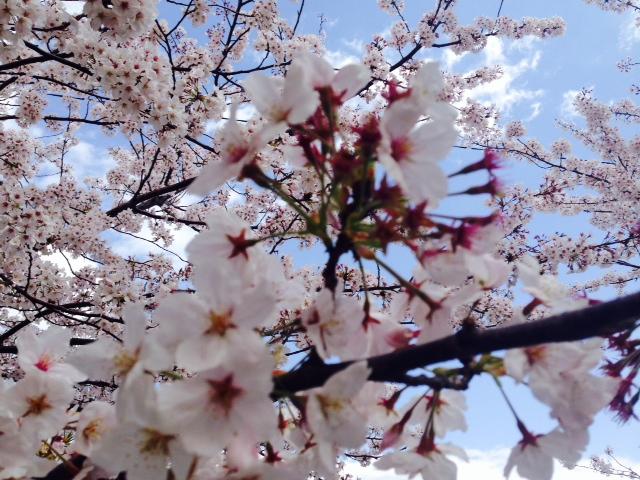 満開の桜に、ブルース・スプリングスティーンの本、、、。_e0077638_1549394.jpg