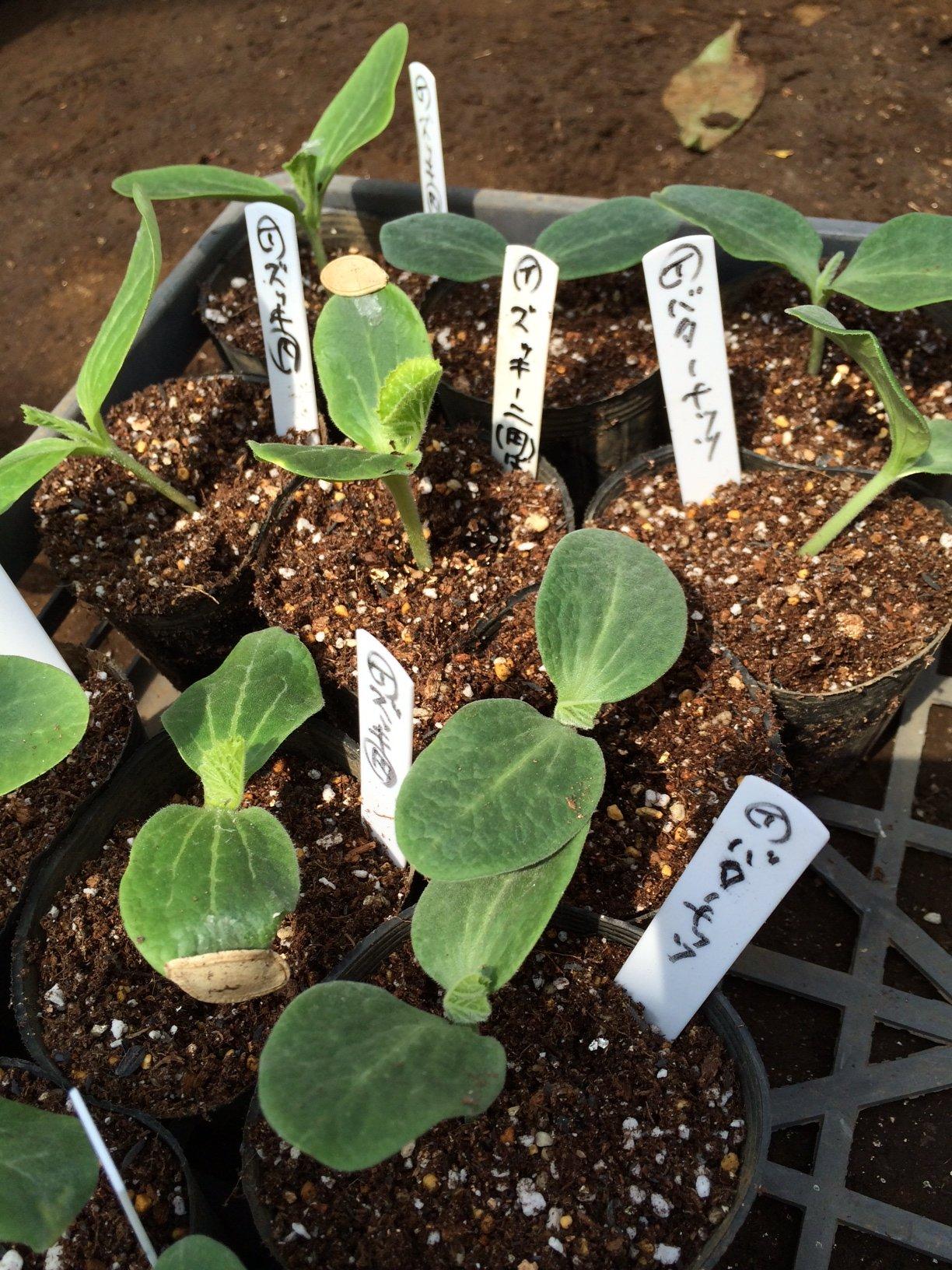 今朝より ウリ科の野菜達の鉢上げを開始します_c0222448_22095477.jpg