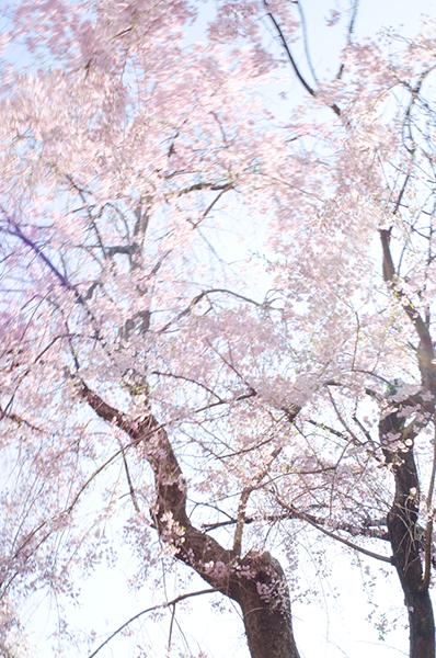 昼散る桜、夜舞う桜_a0003650_002846.jpg