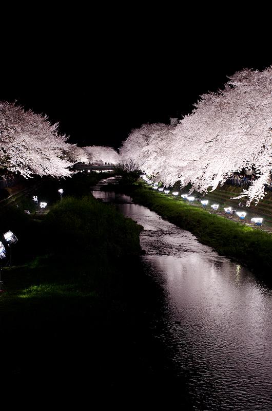 昼散る桜、夜舞う桜_a0003650_012084.jpg