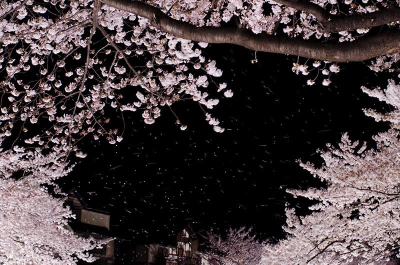 昼散る桜、夜舞う桜_a0003650_013155.jpg