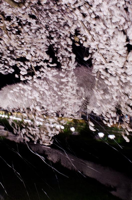 昼散る桜、夜舞う桜_a0003650_031690.jpg