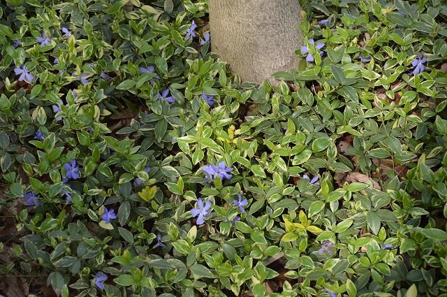 ケイビアヤメ、紫のグラウンドカバー_c0124100_14581948.jpg