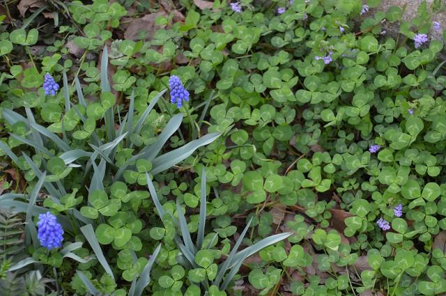ケイビアヤメ、紫のグラウンドカバー_c0124100_14582821.jpg