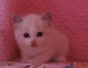 ラグドール 赤ちゃん 2月28日生まれ バイカラー男の子_e0033609_1962420.jpg