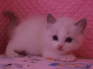 ラグドール 赤ちゃん 2月28日生まれ バイカラー男の子_e0033609_196830.jpg