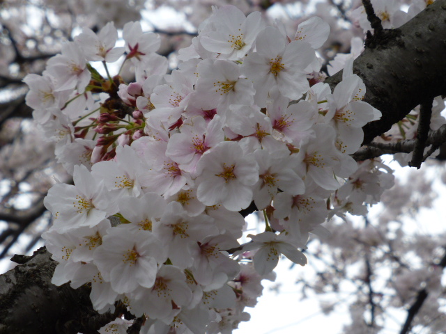 春の桜散歩_e0237625_14345235.jpg