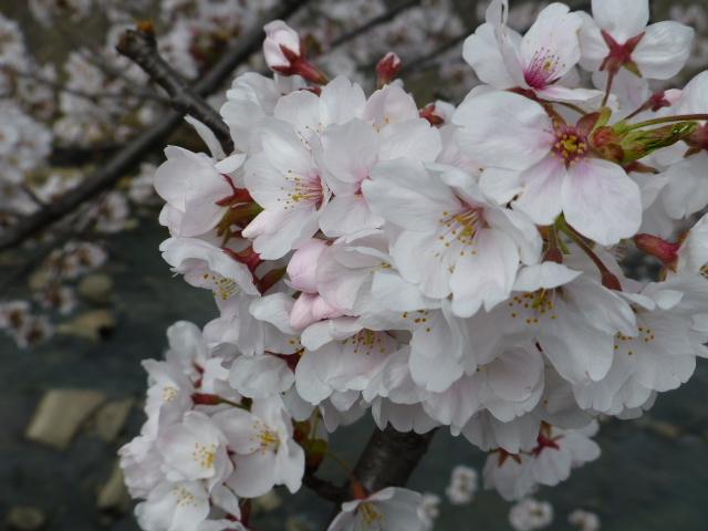 春の桜散歩_e0237625_14394842.jpg