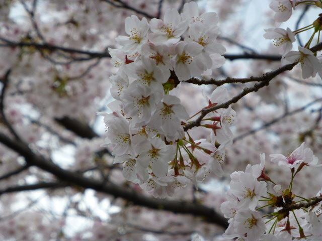 春の桜散歩_e0237625_1445063.jpg