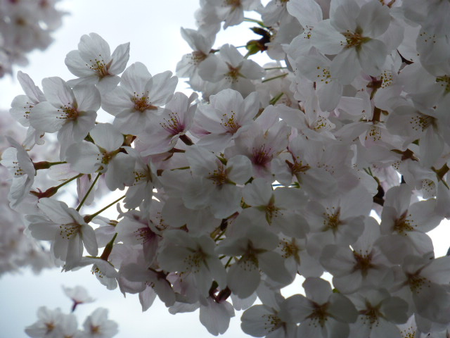 春の桜散歩_e0237625_14511341.jpg